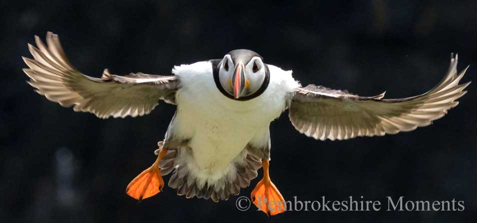 A springtime trip to Skomer Island to see Puffins