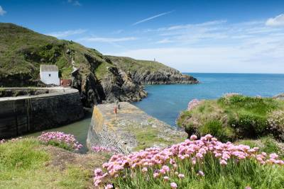 Pink flowers in the foreground with Porthgain Quay Wall and the sea