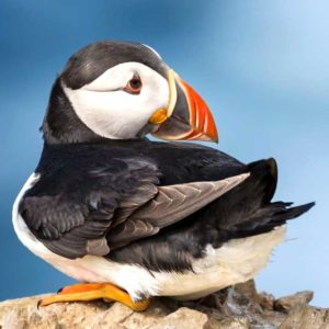 A Resting Puffin on Skomer Island