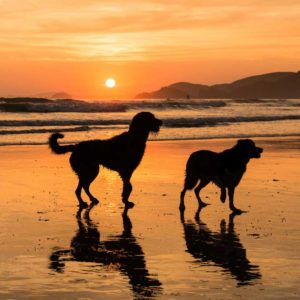 Sunset Dogs at Newgale Beach