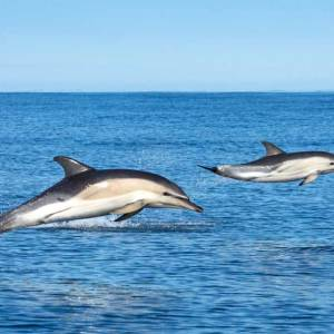 2 Common Dolphin leaping out of the water