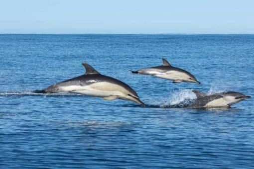 3 common dolphin jumping out of the water