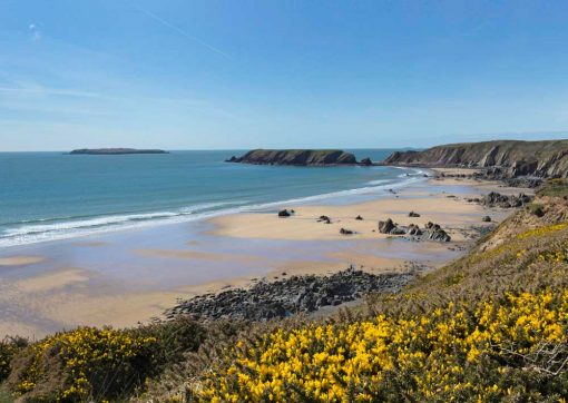 This photo shows gorse in the foreground and a view from the coast path down on to the golden sands of Marloes beach, Pembrokeshire