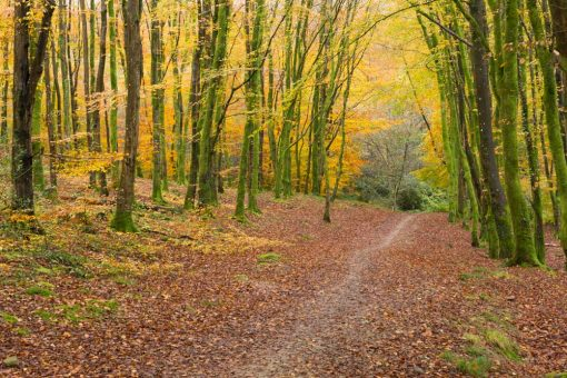 Orange leaves on the floor and yellow leaves on the trees in autumn in Minwear Wood Pembrokeshire