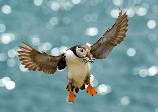 Atlantic Puffin with sandeels coming in to land against a backdrop of glittering sea at Skomer Island