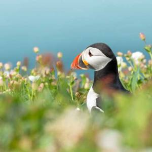 Puffin in Spring Flowers