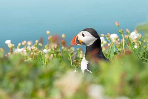 Head of puffin showing over blurred flowers with white campion and blue sky in the background