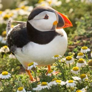 Atlantic Puffin in Camomile Flowers on Skomer Island