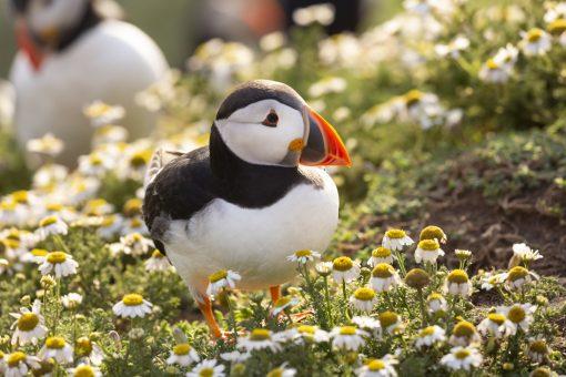 a beautiful skomer island puffin standing amongst camomile daisies