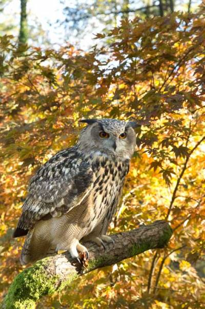 A large owl sitting on a branch with the colours of autumn leaves behind