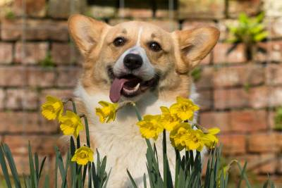 Pembrokeshire Corgi with lolling tongue with daffodils