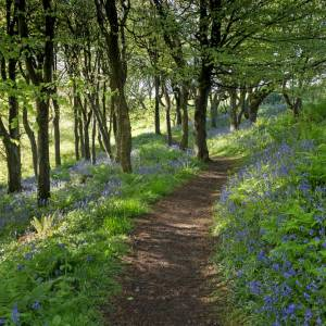 Bluebell Woods at Little Haven