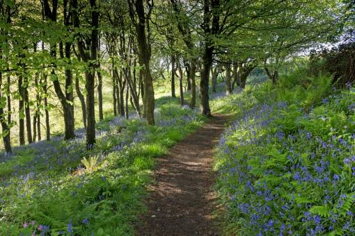 Bluebells in Little Haven woods