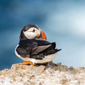 Resting Puffin on Skomer Island