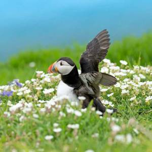 Puffin Stretching Wings in Skomer Island Flowers