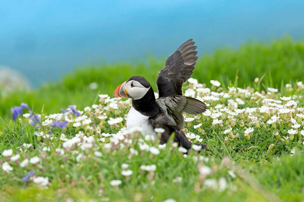 Puffin stretching wings after emerging from burrow in Skomer Island flowers