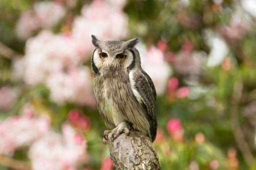 stunning white faced owl on branch with blurred pale pink flower background