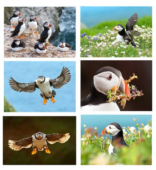 A further selection of puffin cards from Skomer Island