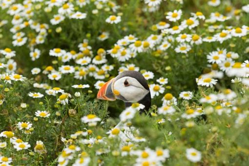 Puffin head peaking out of the camomile flowers on Skomer Island