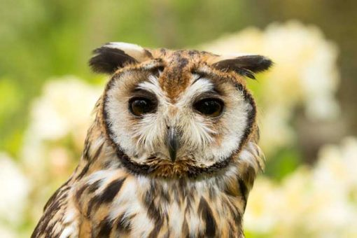 Mexican Striped owl face with yellow flowers in the background
