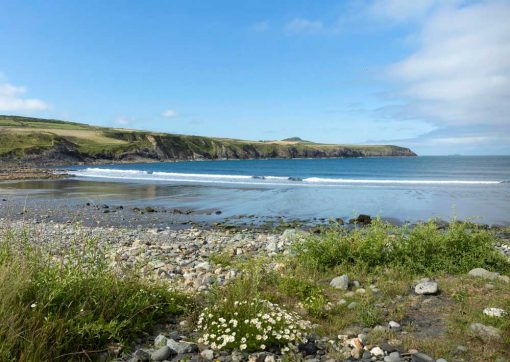 Looking south across Abereiddy beach with daisies in the foreground on a hot summers day in Pembrokeshire