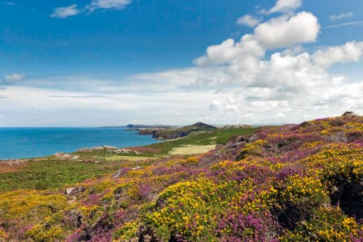 Overlooking vibrant heather and gorse looking north to Strumble Head from Carn Llidi along the north Pembrokeshire coast on a summer's day