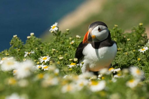 Dazzling Skomer Island puffin in the camomile flowres