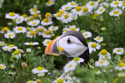 Puffin head peeking out of camomile flowers on Skomer Island