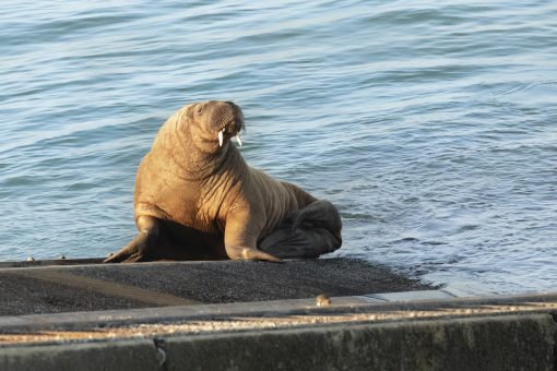 Wally the Walrus on Tenby Lifeboat slip
