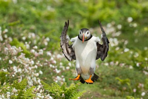 a puffin coming in to land with a background of white campion and grass with perfectly symmetrical wings on Skomer Island