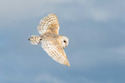 Barn owl flying to right with wings outstretched against a blue sky