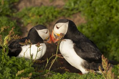 billing puffins in the golden light on skomer island