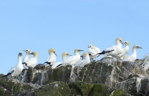 gannets sitting on the top of the cliff at grassholm island pembrokeshire with blue sky behind them