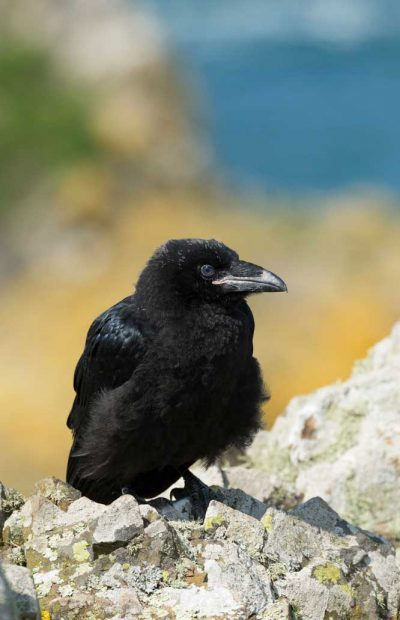 A fluffy newly fledged raven on Skomer Island set against a yellow and blue blurred background