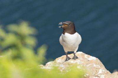 a razorbill sitting on a ledge on skomer island with its beak open
