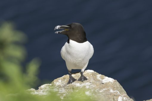 razorbill on a ledge at skomer island in full view of the camera looking left