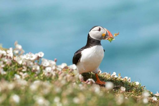 Puffin in amongst the white campion with foliage in his beak