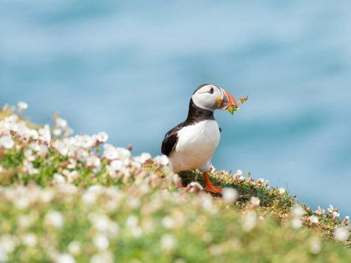 A Skomer Island Puffin in white campion with blue sea behind and flowers in beak a summer image of Skomer island