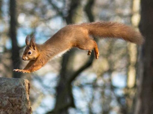 red squirrel leaping from log to log caught in mid air