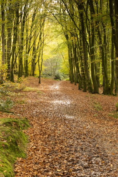 woodland walk carpeted in brown leaves with muddy puddles reflecting sunlight looking off into the distance of bright green leaves at minwear wood