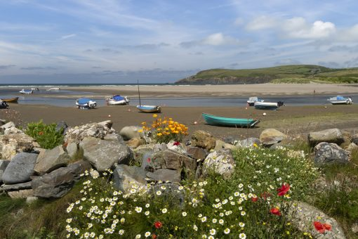 summer flowers in the foreground popping out of the boulders by the slipway at the parrog, newport pembs