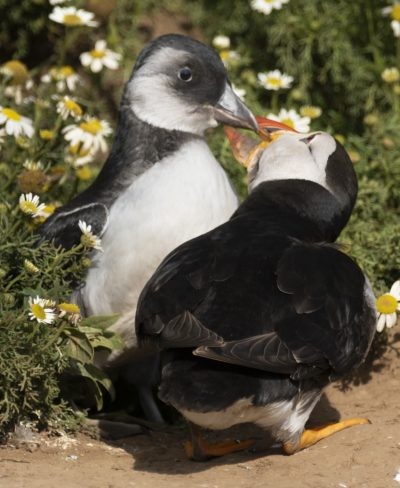 skomer island puffin with a puffling
