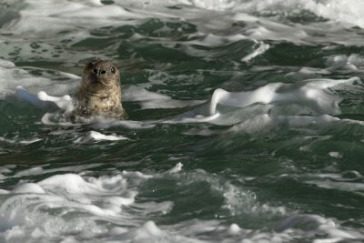 Curious seal head popping out of pretty green sea with foam at Ramsey Island Pembrokeshire