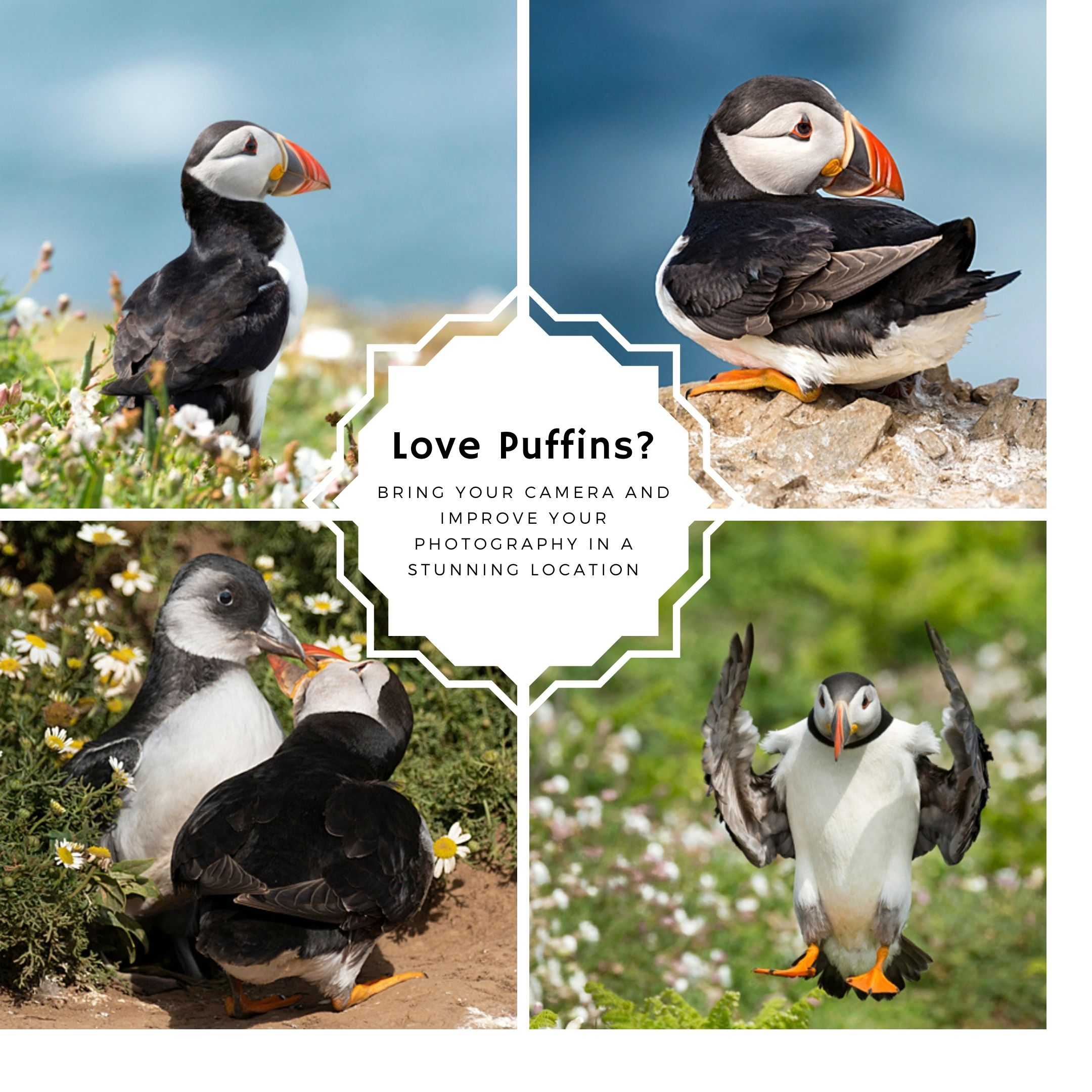 four images of skomer island puffins