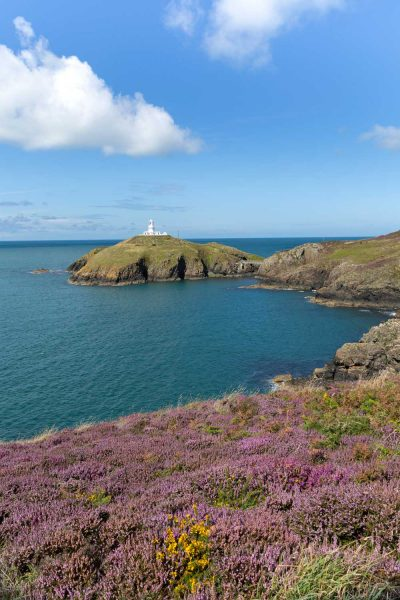 a carpet of purple heather on the coast path with strumble head lighthouse across the bay