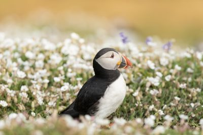 skomer island puffin sitting amongst white campion flowers with an orange glow of the cliff in the background