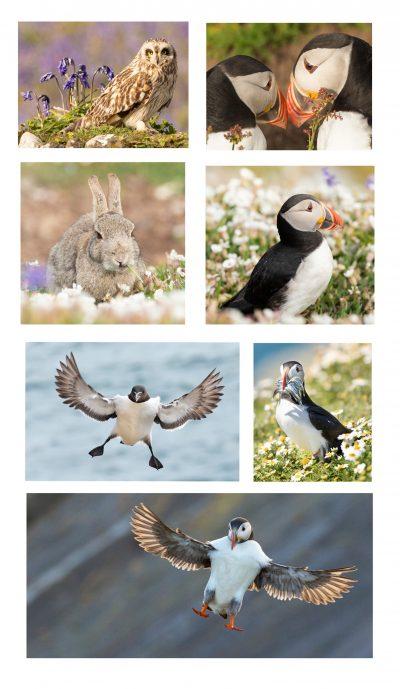skomer island photography workshops with rachel mullett learning bird in flight photography